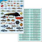 淡水・熱帯魚大全クリアファイル