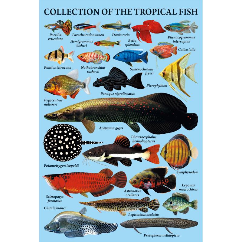 ポストカード:熱帯魚