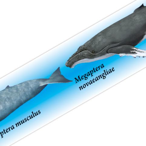 マスキングテープ:M031:海の哺乳類大全